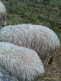 Fosterfarm sheep